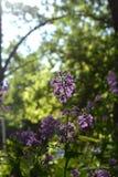 Зацветая matthiola - красивые пахнуть цветки тюльпаны красной весны сада цветков вишни близкие поднимают белизну Стоковая Фотография RF