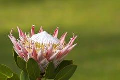 зацветая protea цветка Стоковые Фото
