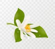 Зацветая tangerine, белый цветок с желтыми тычинками и зеленые листья изолированные на прозрачной предпосылке реалистическо бесплатная иллюстрация