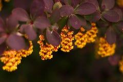 Зацветая thunbergii барбариса Стоковые Изображения RF