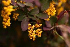 Зацветая thunbergii барбариса стоковое фото rf