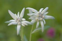 Зацветая Wildflower Edelweiss Стоковые Изображения