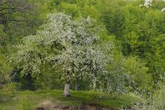 Зацветенное дерево Стоковая Фотография RF