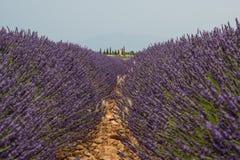 Зацветенное поле лаванды в Провансали Франции Стоковые Изображения RF