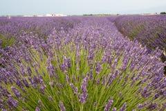 Зацветенное поле лаванды в Провансали Франции Стоковая Фотография