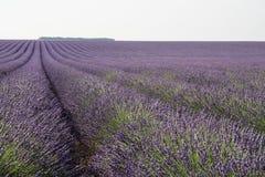 Зацветенное поле лаванды в Провансали Франции Стоковое Изображение RF