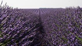 Зацветенное поле лаванды в Провансали Франции Стоковые Фотографии RF