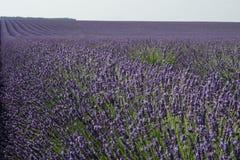 Зацветенное поле лаванды в Провансали Франции Стоковое фото RF