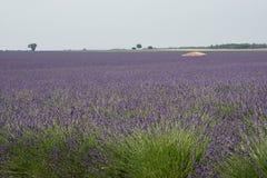 Зацветенное поле лаванды в Провансали Франции Стоковая Фотография RF