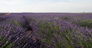 Зацветенное поле лаванды в Провансали Франции Стоковые Фото