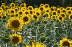 зацветенные солнцецветы поля Стоковая Фотография