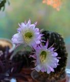 Зацветенный кактус Стоковое Фото