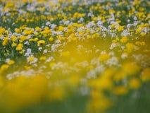 Зацветенный луг одуванчика Стоковое Фото