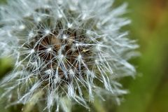 Зацветенный одуванчик в природе растет от зеленой травы стоковые изображения rf