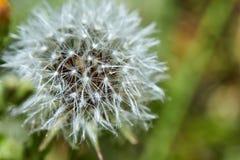Зацветенный одуванчик в природе растет от зеленой травы стоковые изображения
