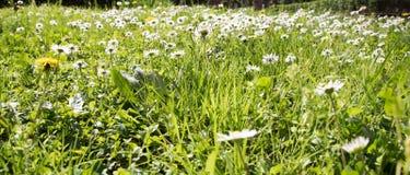 Зацветенный луг весной Стоковое Фото
