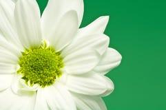зацветите белизна Стоковая Фотография