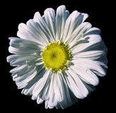 Зацветите белый стоцвет на предпосылке изолированной чернотой с путем клиппирования Маргаритка бело-желтая с капельками воды для  Стоковые Фото