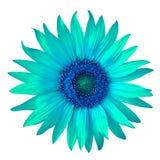 Зацветите голубой cyan солнцецвет, изолированный на белой предпосылке Конец-вверх стоковые фотографии rf