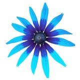 Зацветите голубой cyan черный rudbeckia изолированный на белой предпосылке Конец-вверх стоковые фотографии rf