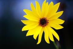 зацветите желтый цвет Стоковые Изображения RF