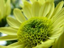 зацветите желтый цвет Стоковая Фотография RF