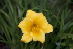 зацветите желтый цвет Стоковая Фотография