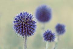 Зацветите запачканная картина - цветки голубых thistles Запачканные цветки на заднем плане Стоковые Изображения RF