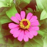 Зацветите зацветать в саде, розовый цветок zinnia сбор винограда типа лилии иллюстрации красный Стоковые Изображения
