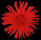 Зацветите красный цвет на черной предпосылке изолированной с путем клиппирования closeup большой shaggy цветок осени Стоковые Изображения