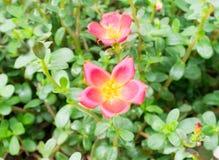 зацветите красный цвет Стоковые Изображения