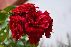 зацветите красный цвет Стоковое Фото