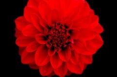 зацветите красный цвет Стоковые Фотографии RF