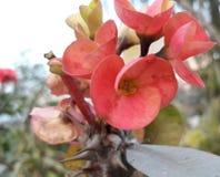 зацветите красный цвет Стоковая Фотография