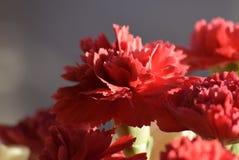 зацветите красный цвет Стоковые Фото