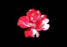 зацветите красный цвет стоковое изображение rf