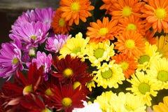 Зацветите красочная желтая маргаритка маргариток gerbera хризантемы оранжевого красного цвета фиолетовая розовая белая Стоковая Фотография