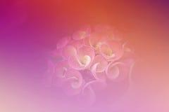 Зацветите крона терниев, терний milli молочая Христоса Стоковое Изображение