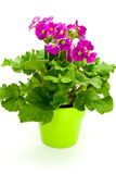 зацветите много детенышей первоцветов бака пурпуровых Стоковые Фото