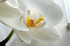 зацветите орхидея Стоковая Фотография
