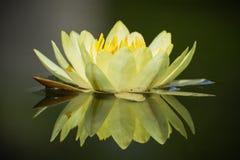 зацветите лотос Стоковое Фото