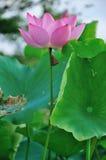 зацветите лотос Стоковая Фотография RF
