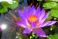 зацветите лотос Стоковые Фото