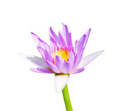 зацветите лотос Стоковое Изображение RF