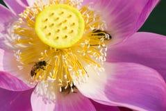 зацветите лотос Стоковые Фотографии RF