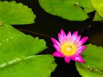 зацветите лотос Стоковые Изображения RF