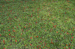 Зацветите падение от дерева на зеленой траве Стоковое фото RF