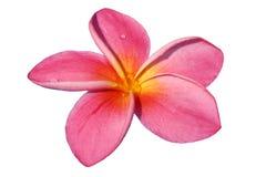 зацветите пинк стоковая фотография