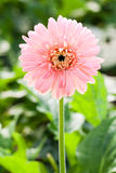 зацветите пинк gerbera Стоковое Изображение