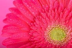 зацветите пинк gerbera Стоковое Изображение RF